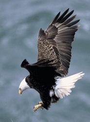 Bald_eagle_saved